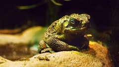 close up of a cane toad sitting on a rock