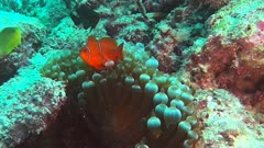 a maroon clownfish (Premnas biaculeatus) and anemone on the great barrier reef