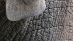 close up of an african elephant's ear and skin