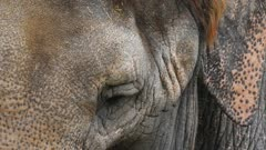 close up of the eye and ear of an african elephant