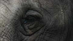 close up of the eye of an asian elephant