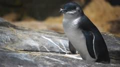 a little penguin rests on a rock ledge