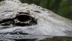 a close up shot of the eye of an american alligator