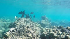 a school of hawaiian black triggerfish feed on the reef at hanauma bay, hawaii