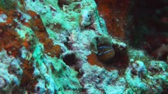 a bluestriped  sabretooth blenny peers from its hole on a coral reef-recorded at 60fps
