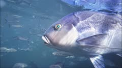 underwater shot of a blue morwong