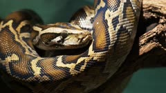 close up of a beautifully marked burmese python curled around a branch