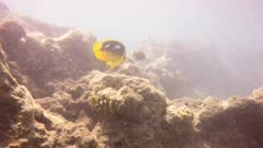 a four spot butterfly fish at hanauma bay, hawaii