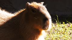close up of a capybara, the world's largest rodent