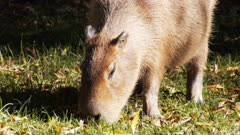 close up of a capybara, the world's largest rodent, grazing
