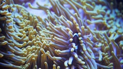 a percula clownfish at home among the tentacles of an anemone
