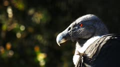 close up of the head of an andean condor
