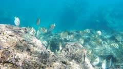 close up of a school of convict tangs feeding on the reef at hanauma bay, hawaii