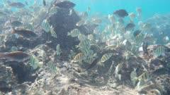 a school of convict tangs swim over the reef at hanauma bay, hawaii