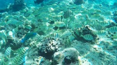 a snorkeller follows a school of convict tangs at hanauma bay, hawaii