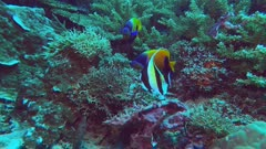 two blue girdled angelfish and a moorish idol feed on a coral reef in papua new guinea- recorded at 60fps