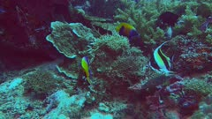 two blue girdled angelfish and a moorish idol feed on a coral reef in png- recorded at 60fps