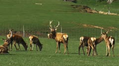 a stag and does on a deer farm at mossburn in new zealand