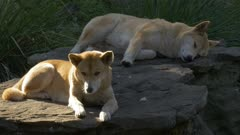 two dingoes rest on a large flat rock