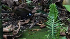 an eastern whip bird searches for food on the rain forest floor