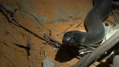 close up of a western taipan on the ground moving its head
