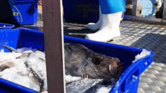 a crate of john dory loaded onto a truck to be shipped to market