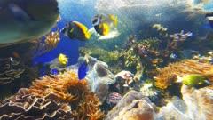 panning shot of two large tridacna giant clam in an aquarium at waikiki