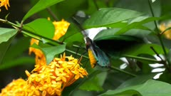close up of a male green birdwing butterfly feeding on a yellow ixoria flower