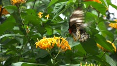 close up of a female green birdwing butterfly feeding on a yellow ixoria flower