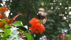 large beautiful female green birdwing butterfly feeds on a red ixoria flower