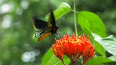 close up of a male green birdwing butterfly feeding on a red ixoria flower