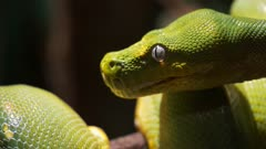 close up of a green tree python curled on a branch
