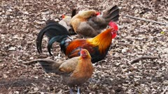 a junglefowl rooster and several hens on the forest floor