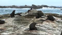 a group of seals rest on the rocks at kaikoura seal colony