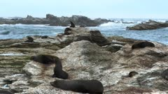 seals on the rocks at kaikoura seal colony in new zealand