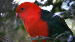 close up of a beautiful australian king parrot perched in a tree