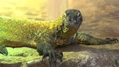 close up of a young komodo dragon lizard
