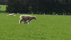 a baby lamb in new zealand feeds from its mother