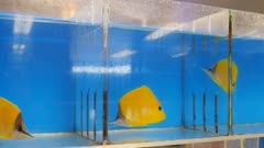colorful yellow longnose butterfly fish for sale at a tropical fish wholesaler in hawaii