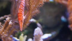 close up of a longnose hawkfish on a coral branch