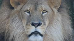 an extreme close up shot of the face of a male lion