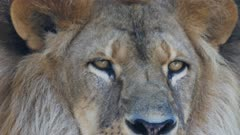 a close up shot of the eyes of a male lion as it becomes interested in something and looks intently at it