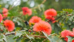 a female carpenter bee collects pollen from red powder puff flowers on maui