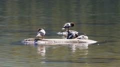a flock of merganser ducks sit on a rock at lake tenaya in yosemite national park