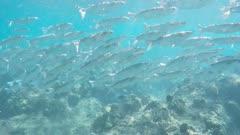 a school of mullet swim past a snorkeller at hanauma bay, hawaii