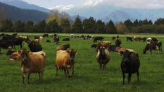 a herd of dairy cows on a farm at hokitika, new zealand