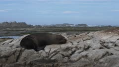 close up of a sleeping new zealand fur seal on the rocks at kaikoura, new zealand