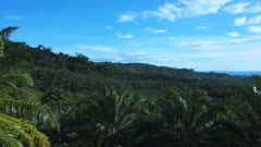 panning shot of a palm oil plantation in papua new guinea