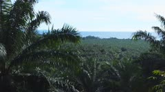 a palm oil plantation on the island of new britain in papua new guinea