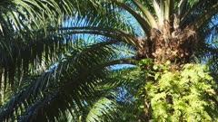 close up of an oil palm growing on the island of new britain in papua new guinea